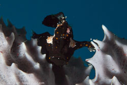 BD-141011-Komodo-4175-Antennarius-pictus-(Shaw.-1794)-[Painted-frogfish].jpg